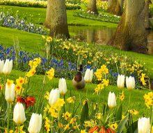 Mis Gibi Lalelerle Buluşma: Keukenhof Parkı- Hollanda