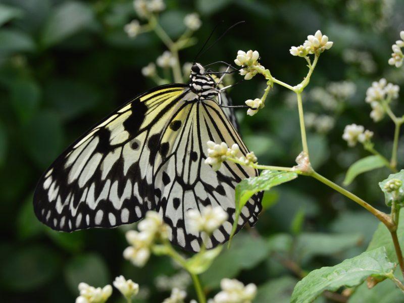 kelebek-konya-canan8